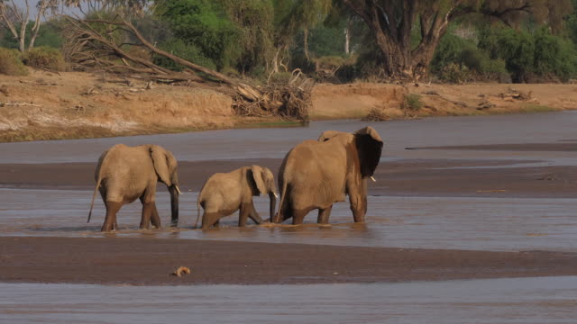 African-Elephant-loxodonta-africana-Group-crossing-River-Samburu-Park-in-Kenya-Real-Time-4K