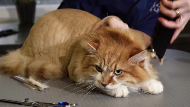 Adorable-fluffy-ginger-cat-being-shaved-by-a-vet-at-the-clinic