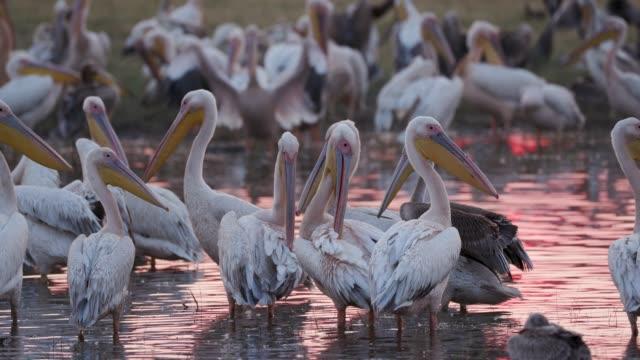 Nahaufnahme-eines-großen-Geschwaders-von-rosa-backed-Pelikane-putzen-bei-Sonnenaufgang-am-Ufer-eines-Flusses-in-das-Okavango-Delta-Botswana