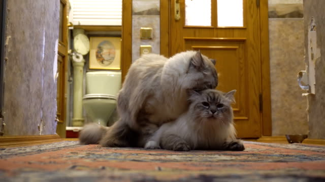 love-game-and-courtship-between-two-Siberian-color-point-cats-in-a-city-apartment