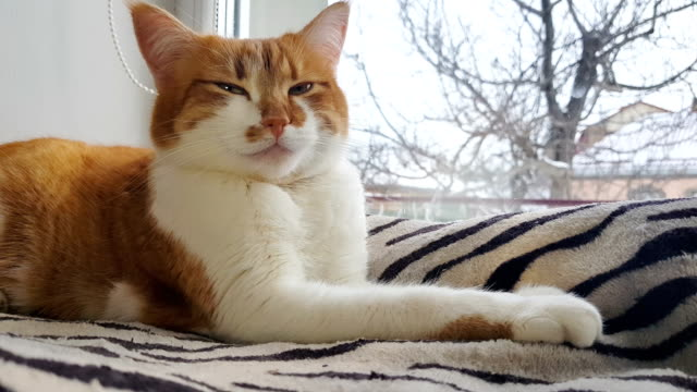 Morning-sunlight-on-the-relaxed-red-cat