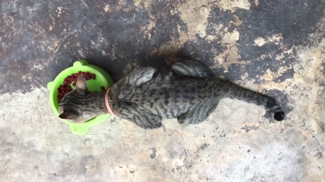 Cerca-tailandés-gato-comiendo-comida-de-gato-