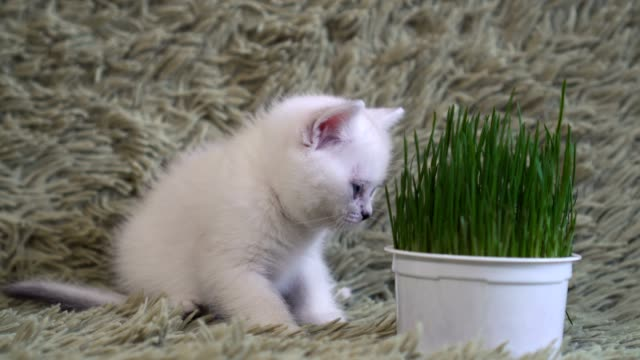 White-young-cat-sniffs-potted-grass