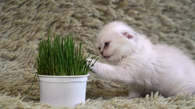 White-kitten-sniffs-potted-flowers-