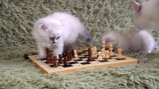 Two-white-kitten-playing-chess
