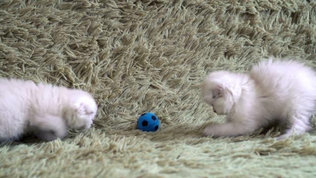 Two-little-cute-white-kitten-playing-football