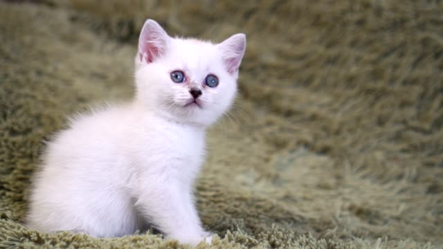 Cute-white-kitten-sitting-on-the-bed