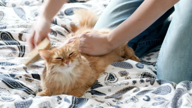 Woman-combs-a-cute-ginger-cat-fur-Fluffy-pet-frowning-of-pleasure