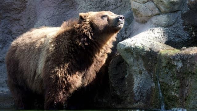 Braunbär-(Ursus-Arctos-Beringianus)-Kamtschatka-Braunbär-