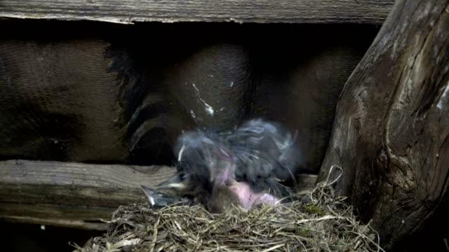 Eurasian-Blackbird-Turdus-merula-con-los-pájaros-jóvenes-en-el-nido-alimentación-e-higiene