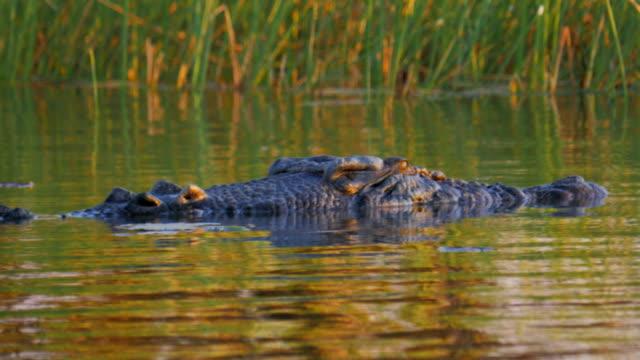 cocodrilo-en-la-superficie-del-agua