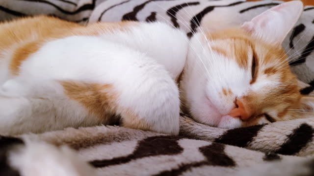 Cute-funny-red-white-cat-on-the-blanket-close-up-dynamic-scene-4k-video-