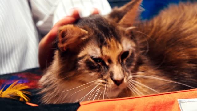 Precioso-gato-feliz-cómodo-por-la-mujer-acariciando-la-mano
