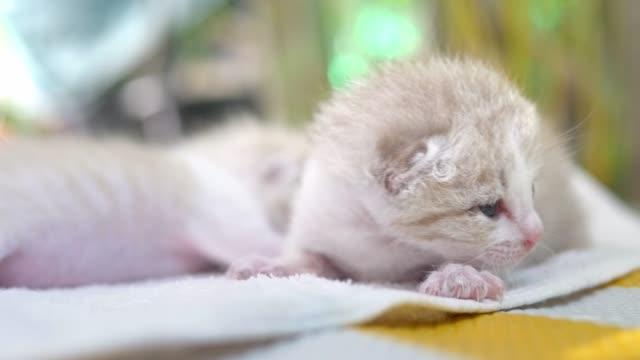 El-gatito-recién-nacido-es-caminar-