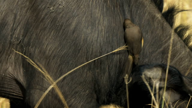 tracking-close-up-of-an-oxpecker-on-the-neck-of-a-cape-buffalo-in-masai-mara