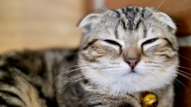 4K-Cute-tabby-cat-sleeping-with-sweet-dream-at-home