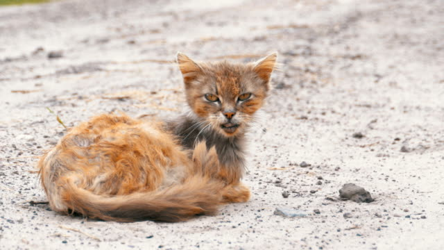 Homeless-Gray-Dirty-Cat-Hungry-Shabby-and-Sick-Sits-on-a-Rural-Road-on-the-Village-Street