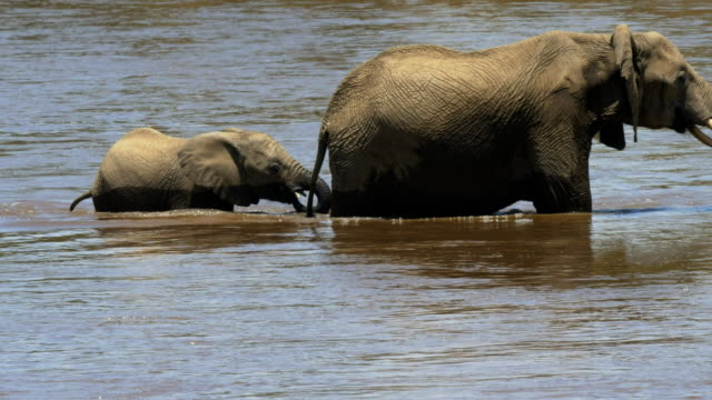 close-up-of-an-elephant-calf-and-mother-crossing-the-mara-river