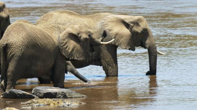 close-up-of-elephants-drinking-in-masai-mara-kenya