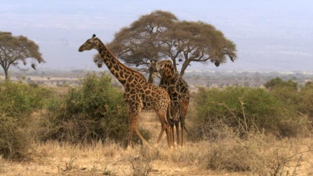 a-male-giraffe-follows-a-female-in-amboseli-kenya