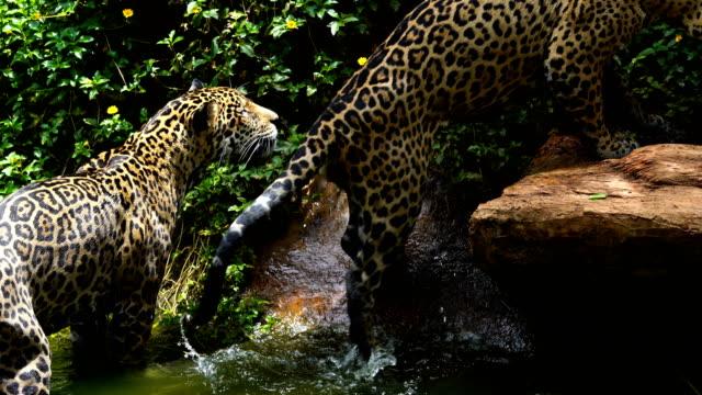 Dos-jaguar-jugando-y-nadando-en-el-estanque