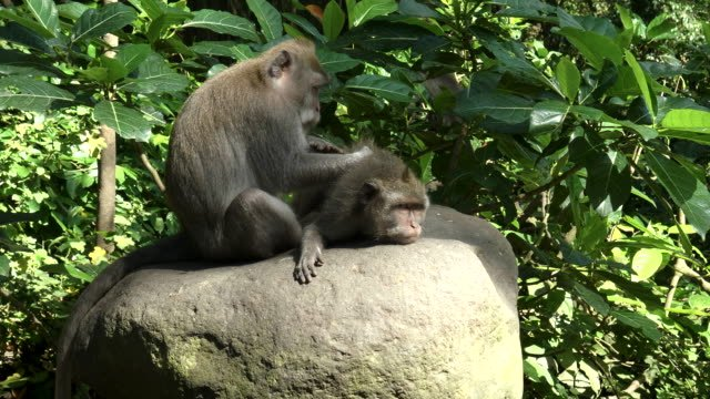 macaque-on-stomach-being-deloused-at-ubud-bali