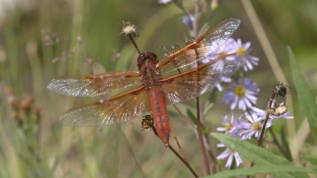 flame-skimmer-dragonfly-in-yellowstone