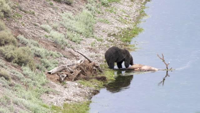 Grizzly-Bear-Fütterung-auf-einen-Toten-Elch-in-Hayden-Valley-von-yellowstone