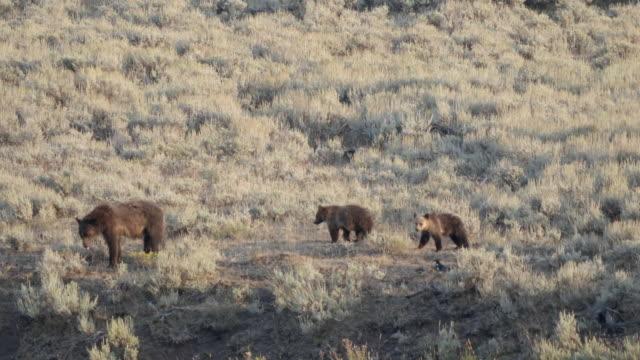 Kamerafahrt-von-einem-Grizzly-Bären-und-ihre-jungen-in-das-Lamar-Valley-yellowstone