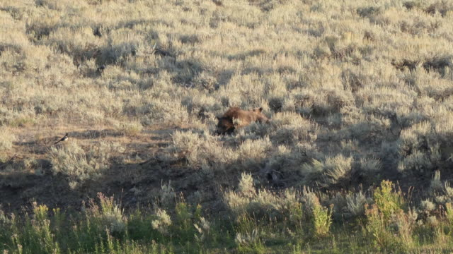 oso-de-grizzly-de-la-madre-y-los-cachorros-en-el-valle-de-yellowstone-de-lamar-de-descanso