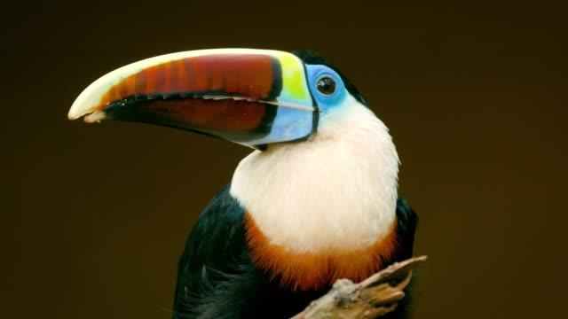 Colorido-tucán-que-está-parado-en-el-árbol-en-un-complejo-natural-Aves-tropicales-en-la-selva-amazónica-