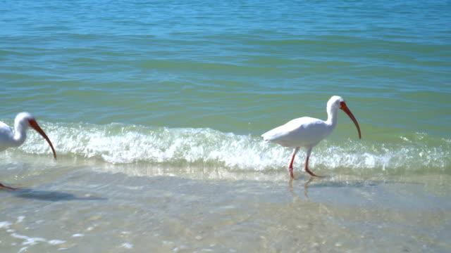 4-K-americano-blanco-Ibis-de-alimentación-en-la-playa-de-Florida