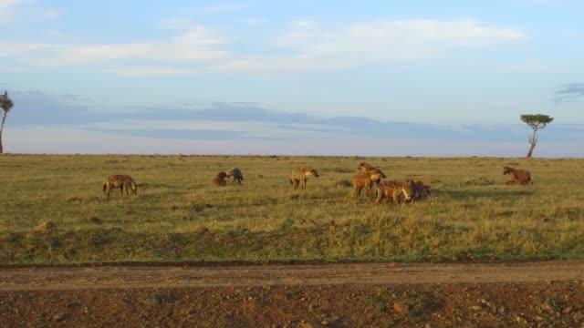 clan-of-hyenas-eating-in-savanna-at-africa
