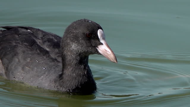 Calvo-de-aves-acuáticas-focha-flota-en-busca-de-alimento-en-el-lago-