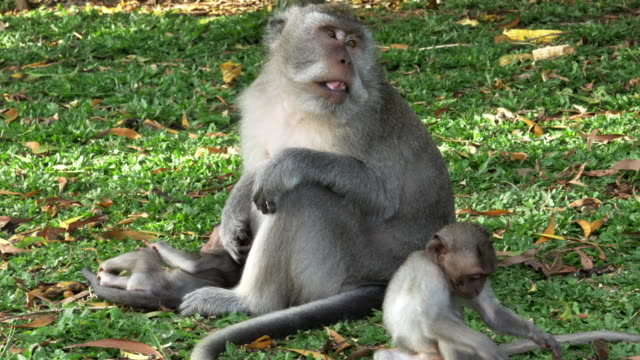 macaque-monkey-with-babies-rests-on-a-grass-lawn-at-uluwatu-temple-on-bali