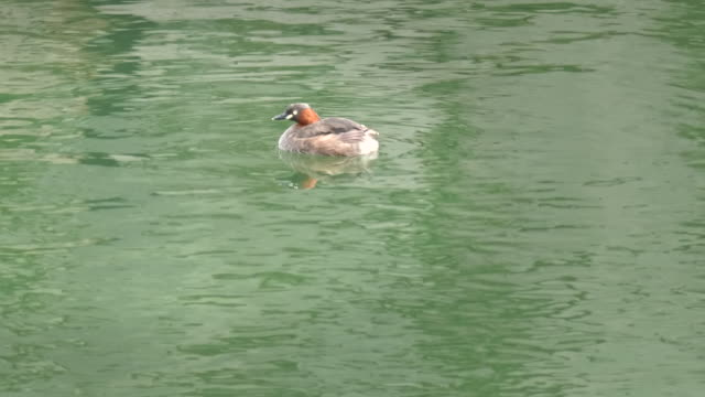 little-grebe-swims-on-the-moat-in-kyoto