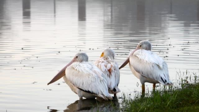 Pelícanos-de-descanso-durante-la-migración-sur-para-el-invierno-