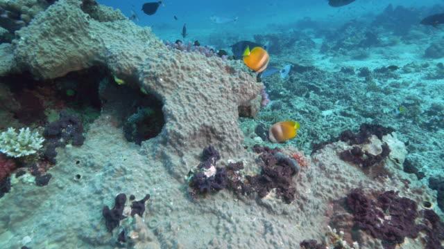 pair-of-blacklip-butterflyfish-at-rainbow-reef-in-fiji