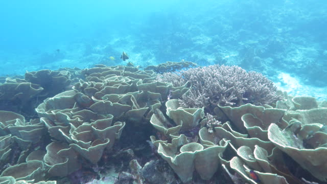a-diver-swims-over-yellow-scroll-coral-at-rainbow-reef-in-fiji