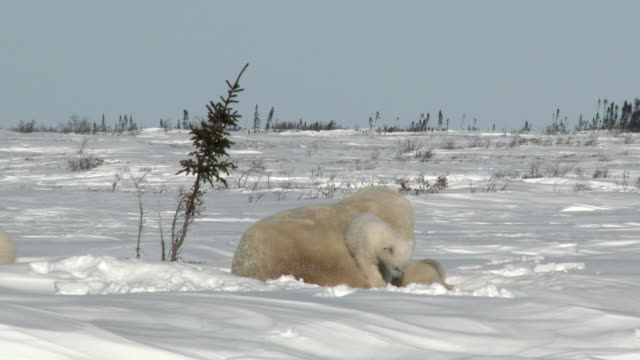 Polar-Bear-mother-with-cubs-at-denning-site