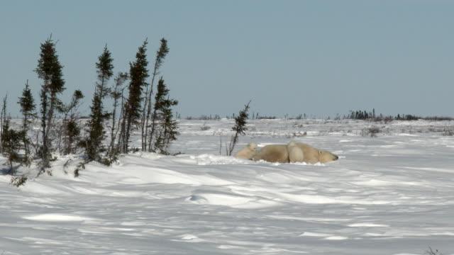 Oso-polar-madre-con-cachorros-en-lugar-de-denning