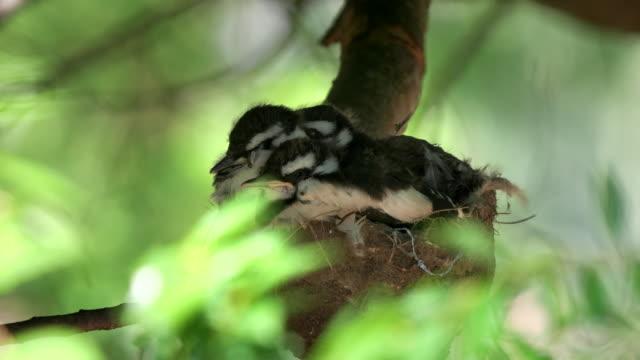 tres-bebés-de-alondra-Urraca-australiana-para-dormir-en-un-nido