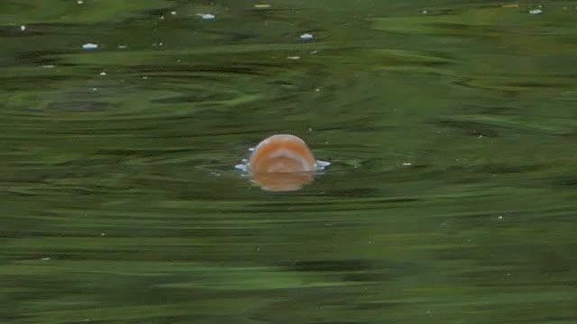 Peces-están-respirando-en-la-superficie-del-agua