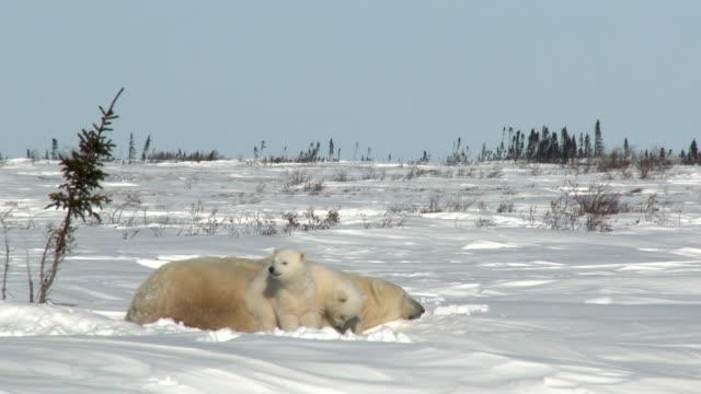Oso-polar-hembra-con-cachorros-en-tundra