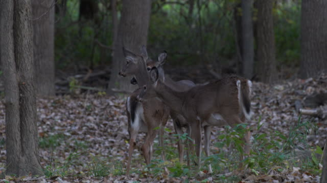 Three-young-deer-together-in-the-woods-fawns