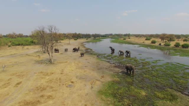 Aerial-shot-of-elephants-drinking-at-a-river-in-the-Okavango-Delta