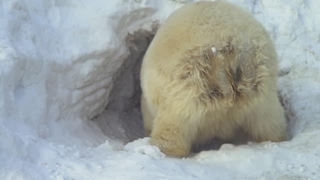 Blanco-oso-de-se-arrastra-en-la-nieve-Guarida
