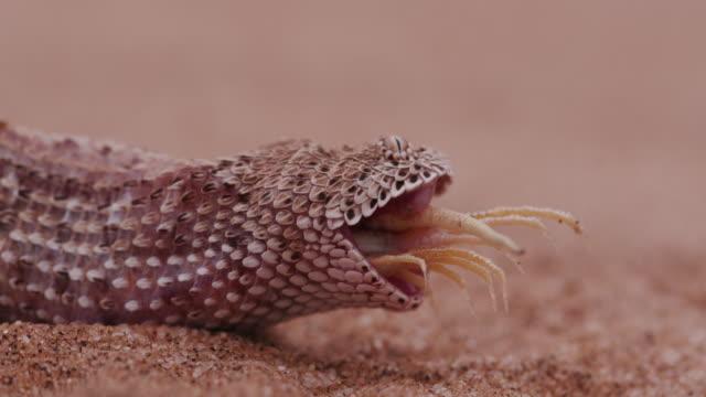 4K-shot-of-sidewinder/Peringuey-s-adder-eating-a-shovel-snouted-lizard