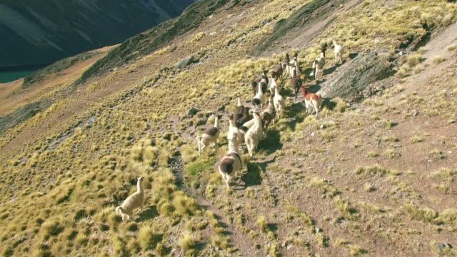 4K-aerial-view-stable-llama-running-mountains-lake-bolivia-austria-pico