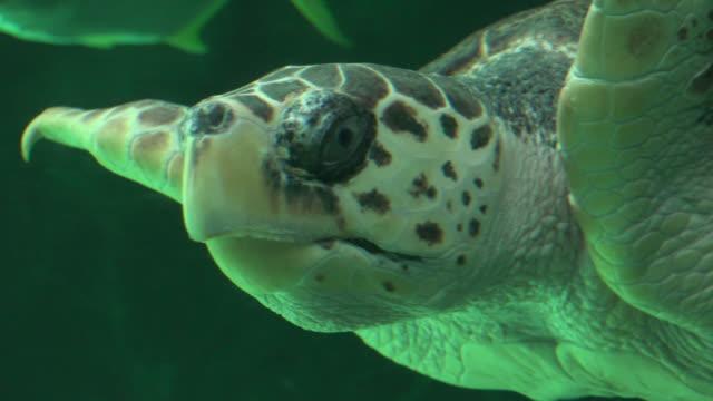 Sea-Turtle-Swimming-In-Aquarium